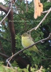 Kratkoperuti-vrtnik-Melodious-warbler