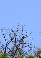 Ptic-Cebelar-Bizeljsko-2021-3