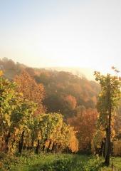 Jesen-med-vinogradi-Bizeljsko-2020-24