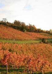 Jesen-med-vinogradi-Bizeljsko-2020-35