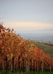 Jesen-med-vinogradi-Bizeljsko-2020-57