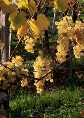 Jesen-med-vinogradi-Bizeljsko-2020-61
