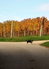 Jesen-med-vinogradi-Bizeljsko-2020-64