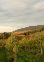 Jesen-med-vinogradi-Bizeljsko-2020-8