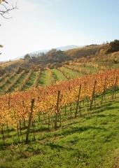Jesen-med-vinogradi-Bizeljsko-2020-80