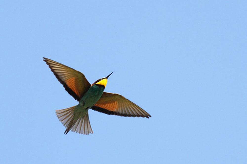 Ptič čebelar (Merops apiaster) (13)