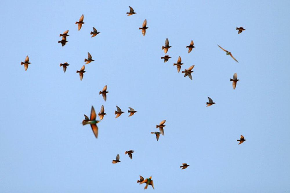 Ptič čebelar (Merops apiaster) (15)