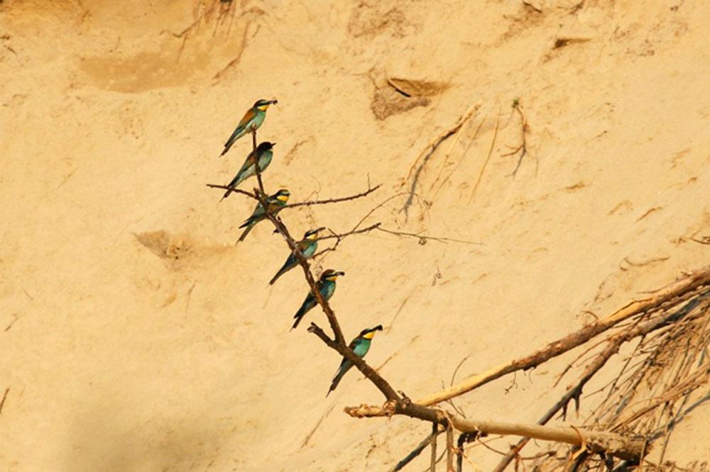 Ptič čebelar (Merops apiaster) (4)