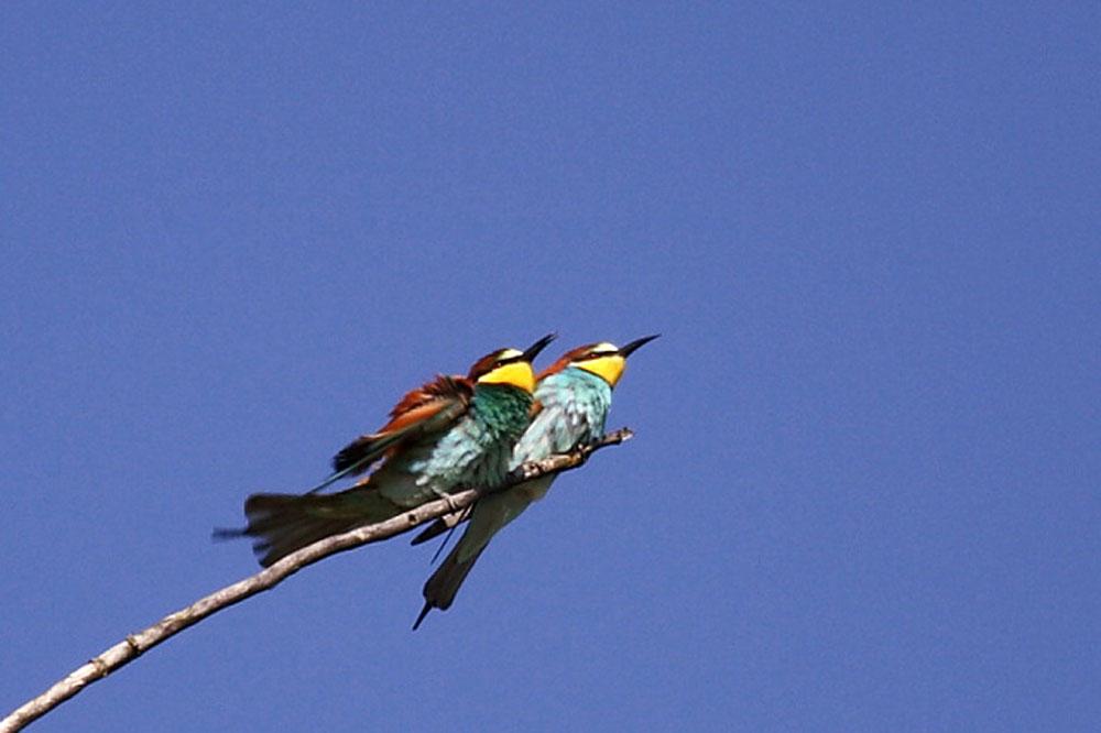 Ptič čebelar (Merops apiaster) (5)