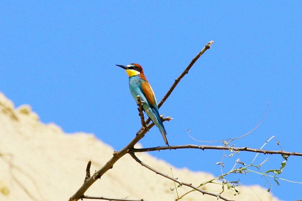 Ptič čebelar (Merops apiaster) (7)