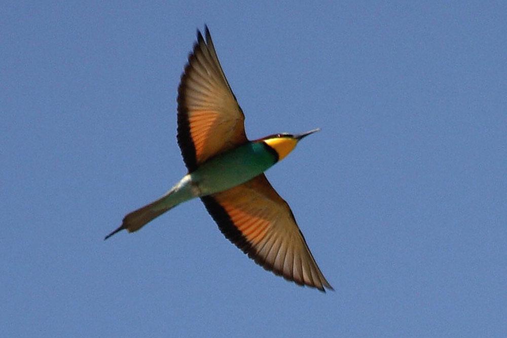 Ptič čebelar (Merops apiaster) (8)