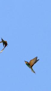 Ptič čebelar (Merops apiaster) (10)