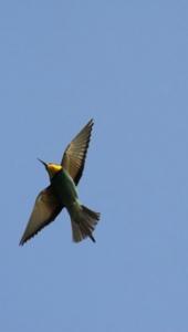 Ptič čebelar (Merops apiaster) (11)