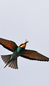 Ptič čebelar (Merops apiaster) (12)