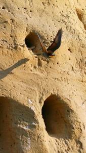 Ptič čebelar (Merops apiaster) (2)