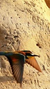 Ptič čebelar (Merops apiaster) (3)