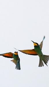 Ptič čebelar (Merops apiaster) (9)