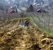 April ročno sajenje vinske trte (1)