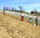 April ročno sajenje vinske trte (10)