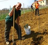 April ročno sajenje vinske trte (18)