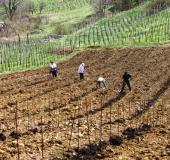 April ročno sajenje vinske trte (22)