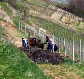 April ročno sajenje vinske trte (9)