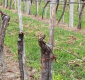 Vinogradništvo skozi leto avgust (5)