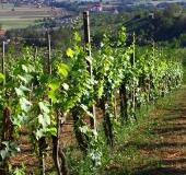 Vinogradništvo skozi leto avgust (6)