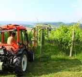 Junij strojno vršičkanje mladik vinske trte (1)