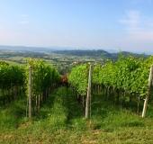 Junij strojno vršičkanje mladik vinske trte (3)