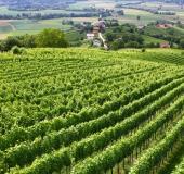 Junij strojno vršičkanje mladik vinske trte (4)