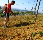 Vinogradništvo skozi leto - maj (2)