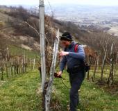 Marec vezanje vinske trte (1)