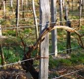 Marec vezanje vinske trte (10)