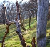 Marec vezanje vinske trte (12)