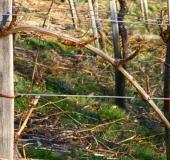 Marec vezanje vinske trte (15)