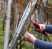 Marec vezanje vinske trte (3)