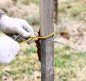 Marec vezanje vinske trte (11)