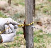 Marec vezanje vinske trte (13)
