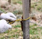 Marec vezanje vinske trte (14)
