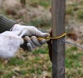 Marec vezanje vinske trte (17)