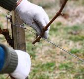 Marec vezanje vinske trte (18)