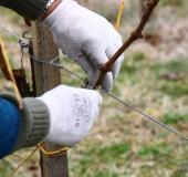 Marec vezanje vinske trte (19)