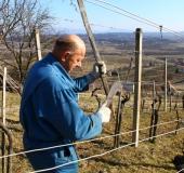 Marec vezanje vinske trte (2)