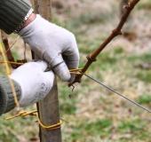 Marec vezanje vinske trte (20)