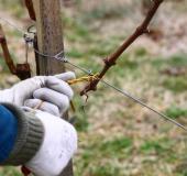 Marec vezanje vinske trte (21)