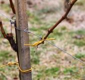 Marec vezanje vinske trte (23)