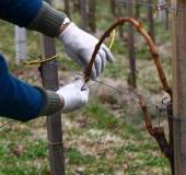 Marec vezanje vinske trte (24)