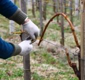 Marec vezanje vinske trte (25)