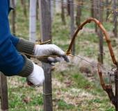 Marec vezanje vinske trte (26)